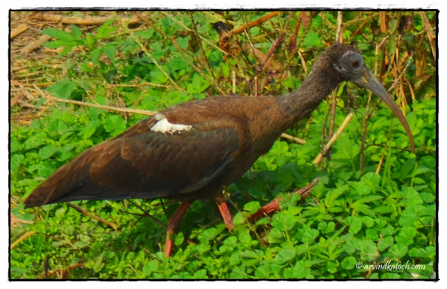 Young, Indian Black Ibis, Ibis