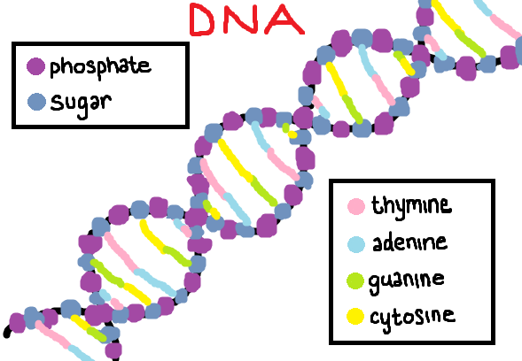 Cupcakes And Biology: DNA / RNA Structure & Labels