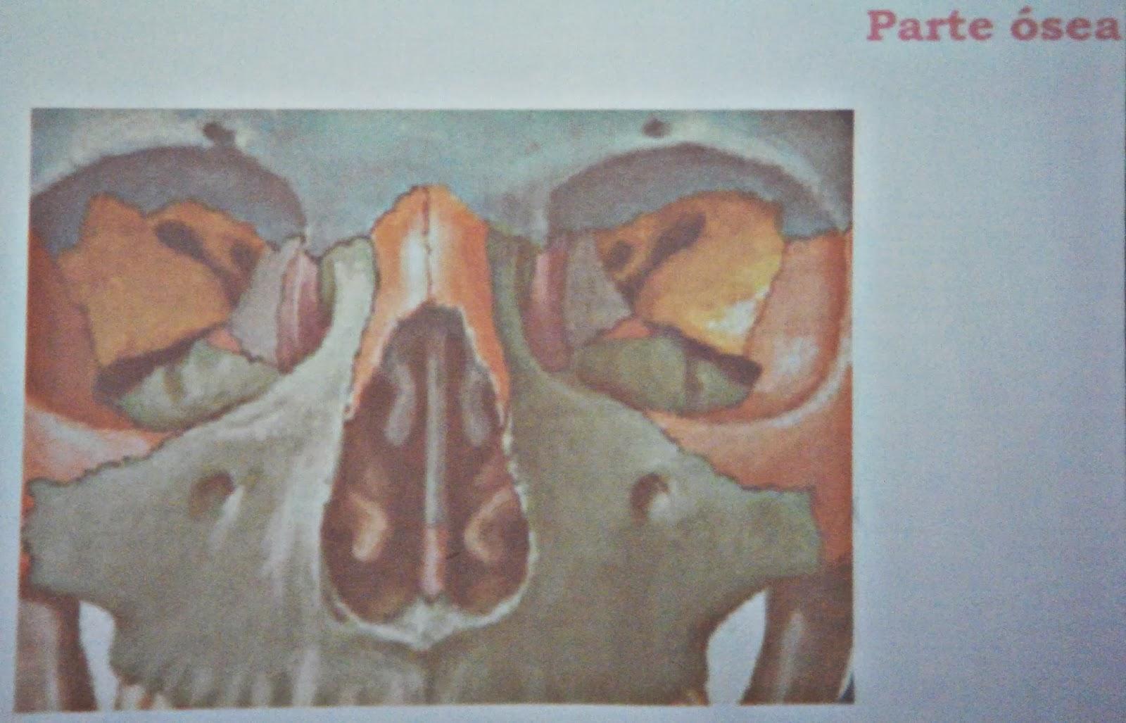 Nariz, senos paranasales - Sistema respiratorio