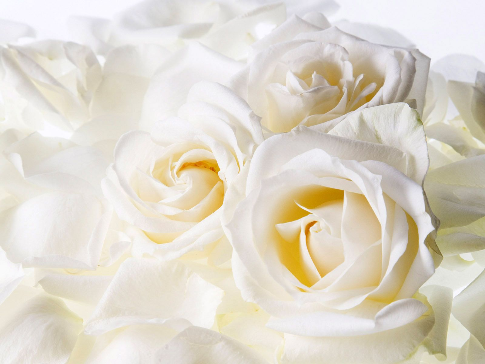 White rose hd photos flowers wallpapers collections free download pixhome wallpaper images mightylinksfo