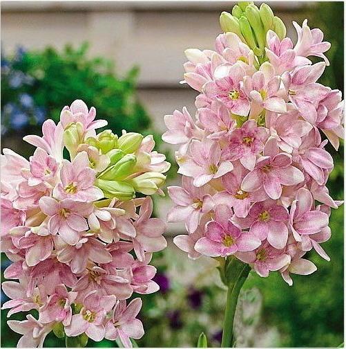 Gambar Bunga Sedap Malam Yang Indah