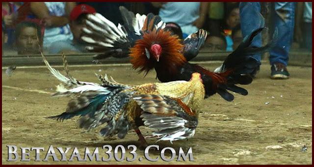 Sabung Ayam Live, Agen Judi S128, Daftar S128, Sabung Ayam, Judi Sabung Ayam, Sabung Ayam Online, S128,