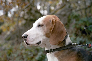 German Hound-pets-dogs-dog breeds