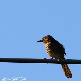 small brown bird on a wire