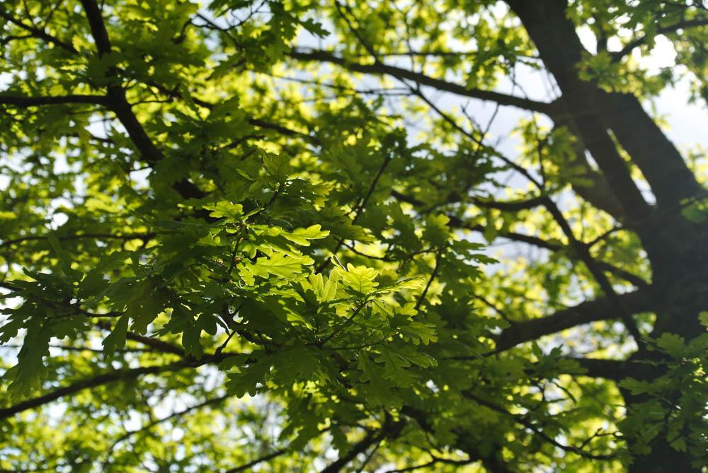 Kelvingrove Park Oak tree