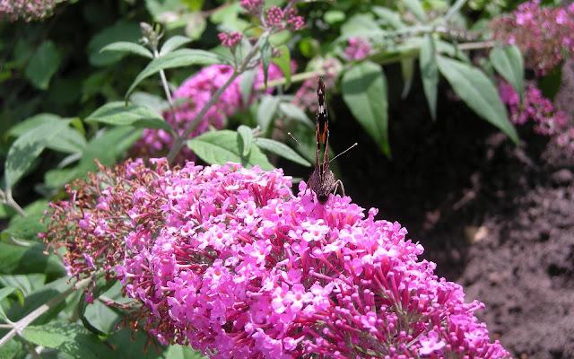 Foto van een vlinder op een roze vlinderstruik