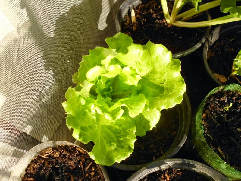 Lettuce in 1 gallon container