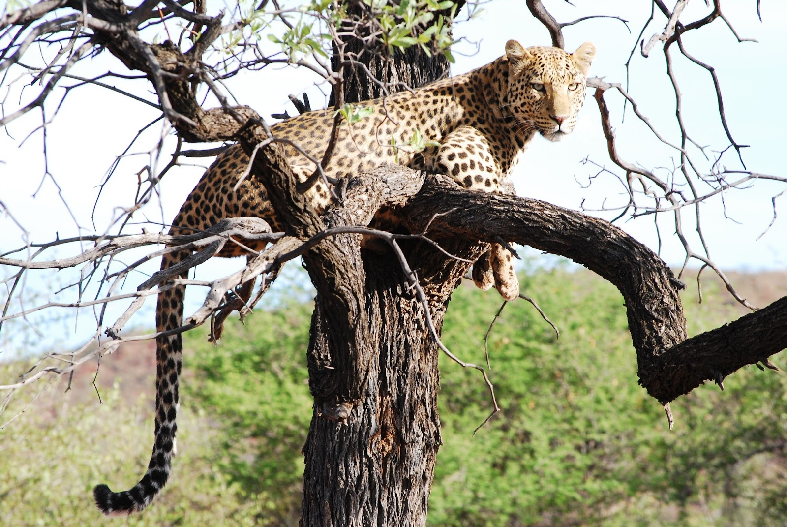 A picture of a leopard on a tree.