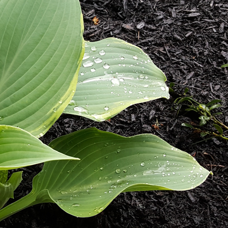 image of some raindrops on hasta leaves