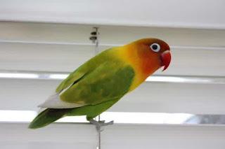 lovebird lumpuh, lovebird stroke