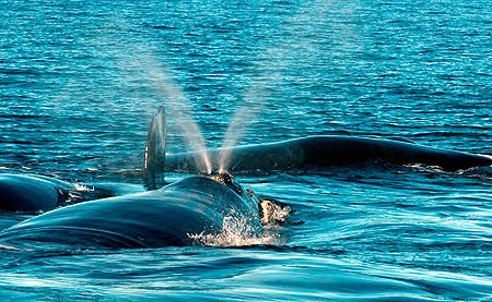 Respiración de la ballena franca