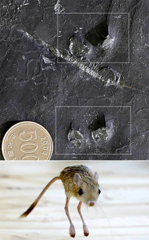 100 million year old mammal trackway found on the Korean Peninsula
