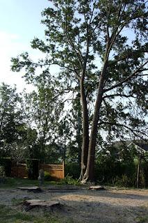 jaguarjulie water oak stumps remain