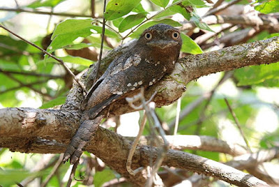 Frogmouths world