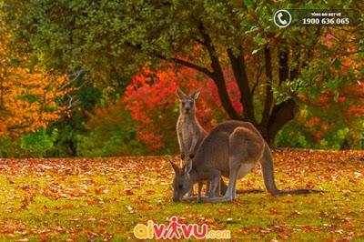 Lãng mạn mùa thu lá vàng nước Úc