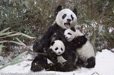 Three cute pandas.