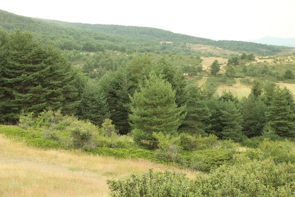 bosque de pinos y juníperos