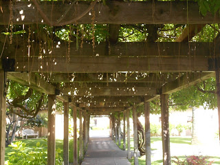 130 year old wisteria vine at santa clara mission