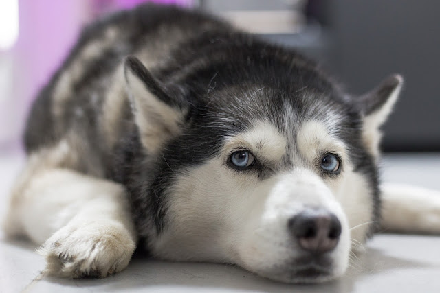 The most effective method to Care for a Siberian Husky - rictasblog