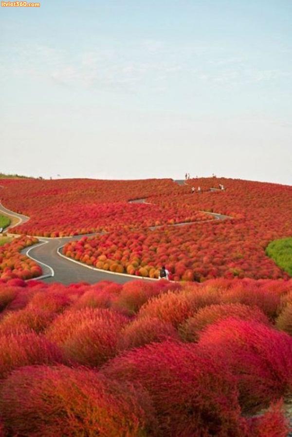 Kochia Hill, Hitachinaka City, Japan