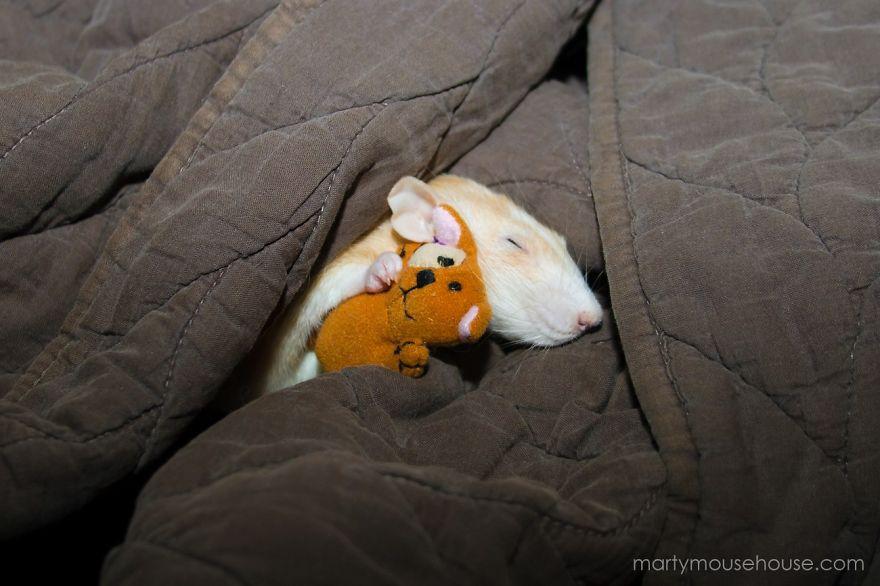 cute-pet-rats-11
