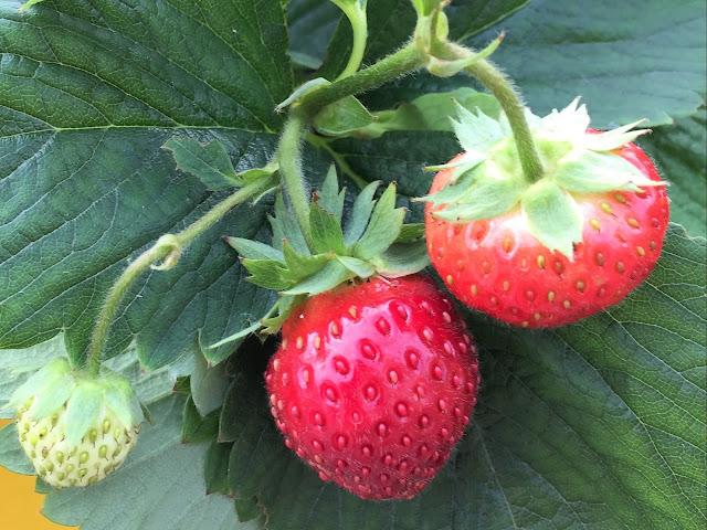 Erdbeere erntereif