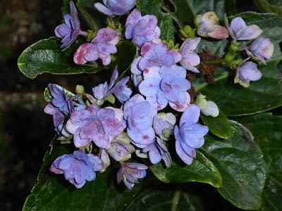 花博記念公園鶴見緑地 秋の紫陽花