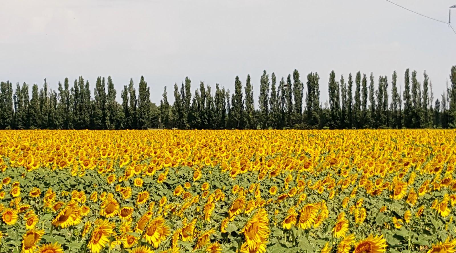 sunflower fields 2 by - photo #40