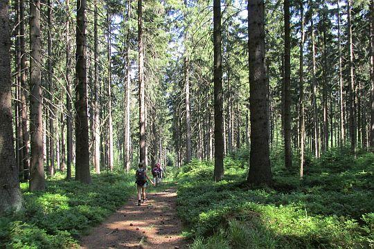Na leśnych stokach Ubocza.