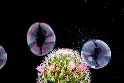 Pics of People inside bubbles about to burst on a flowering cactus