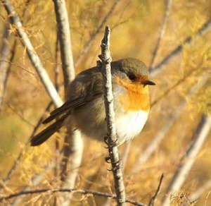 Erithacus rubecula. Pájaro insectívoro europeo.