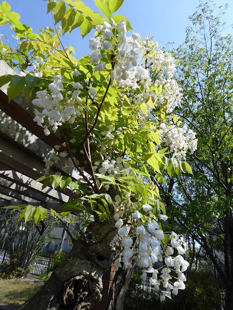 枚方市 王仁公園の藤の花