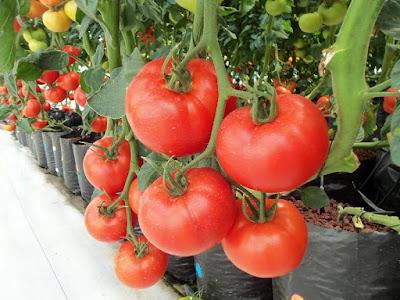 Peluang Usaha Hidroponik Tomat Juga Idola