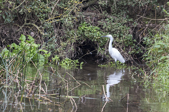 Fishing Little Egret