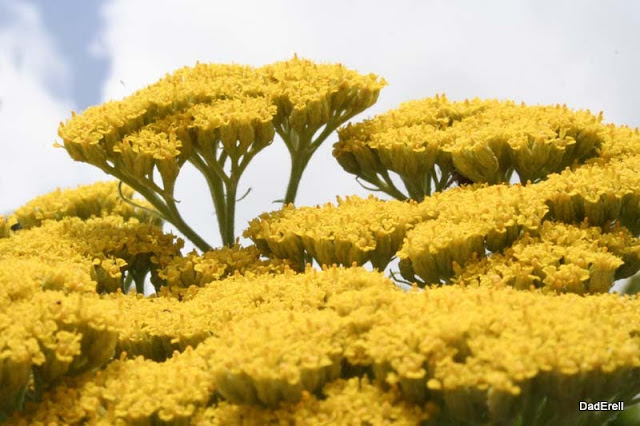 Fleur d'aquilée