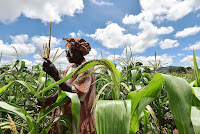 A farmer in Malawi checks her maize crop that is struggling as a result of the worst drought in three decades. [Credit: Neil Palmer (CIAT)] Click to Enlarge.