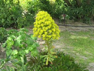 Aeonium arboreum care and culture