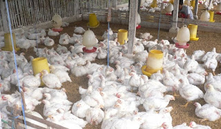 Ternak-Ayam-Potong