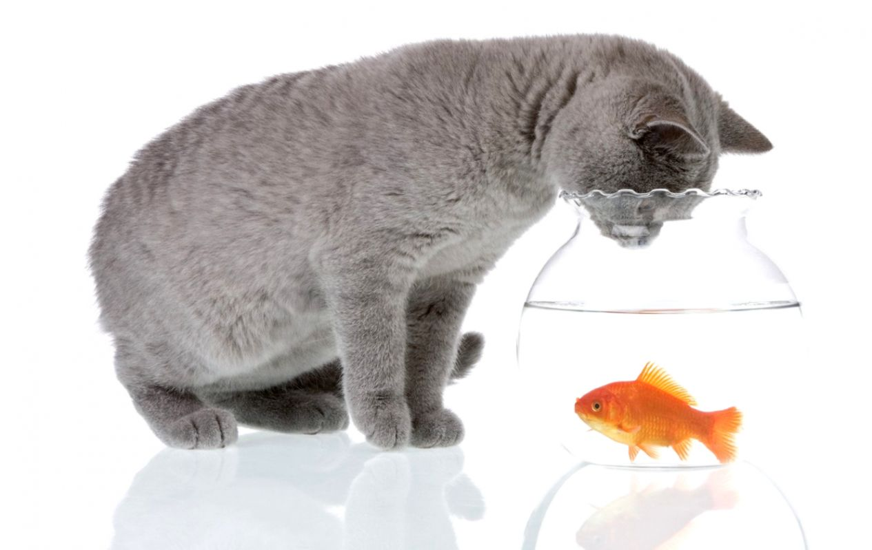 Wallpaper cat water reflection grey animal aquarium fish