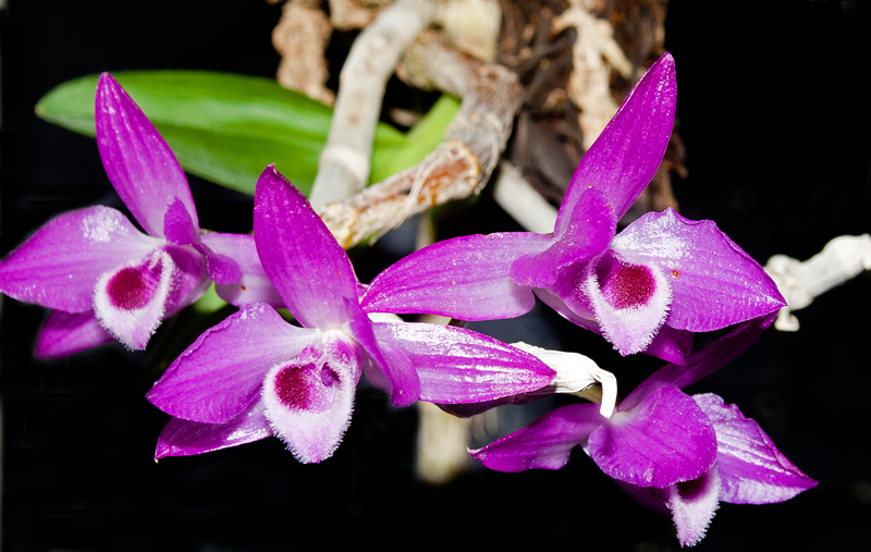 Dendrobium Parishii Care And Culture Travaldos Blog