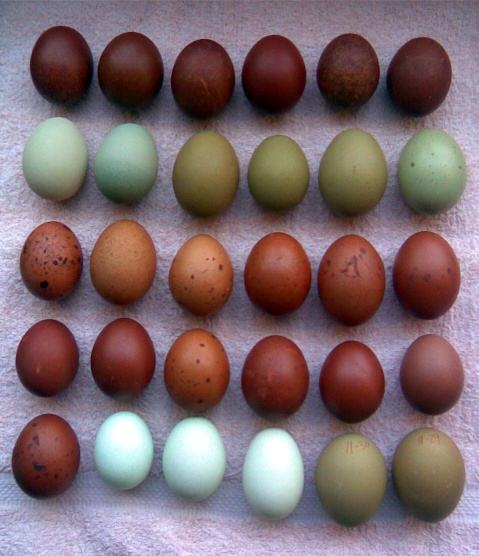 What Chickens Lay Chocolate Eggs