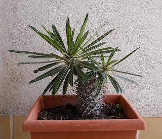 tallos de cactus palmera de Madagascar