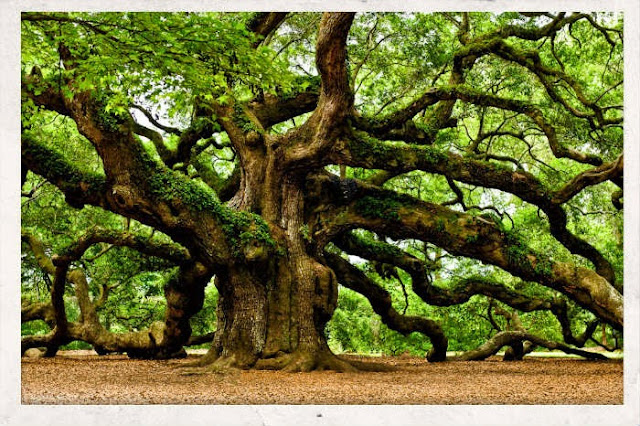 http://3.bp.blogspot.com/-6Q0KjbO2D8A/VT4OQf4ZlII/AAAAAAAAVT0/zYLxmzkFdgE/s1600/mystical-angel-oak-tree--1024x681.jpg