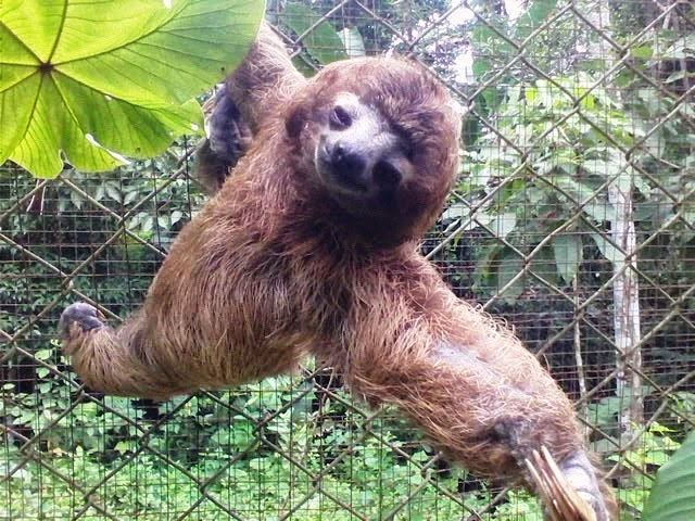 Sloth / Perezoso