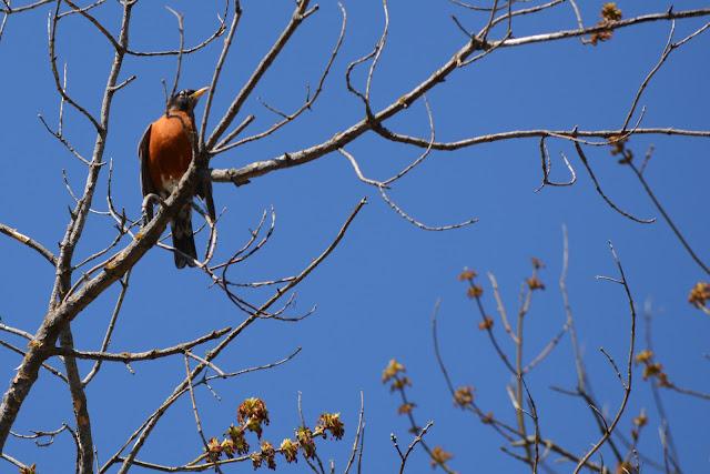 American Robinbirdin Pembroke, Ontario Photo by Stacey McIntyre-Gonzalez