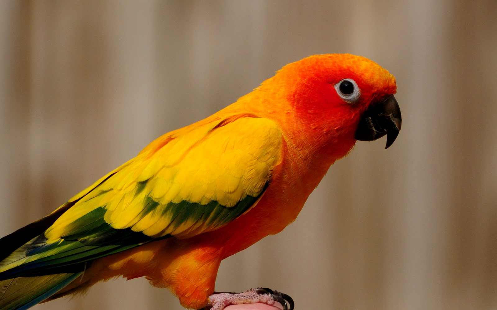 Animal House Wallpaper Picture Orange Yellow Parrot