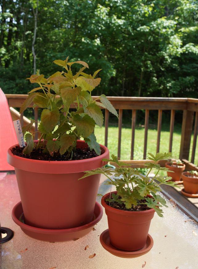 sunshine in my mit pflanzen gegen die m ckenplage. Black Bedroom Furniture Sets. Home Design Ideas
