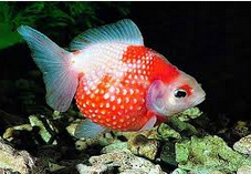 7 Tips Cara Merawat Ikan Mas Koki Agar Sehat