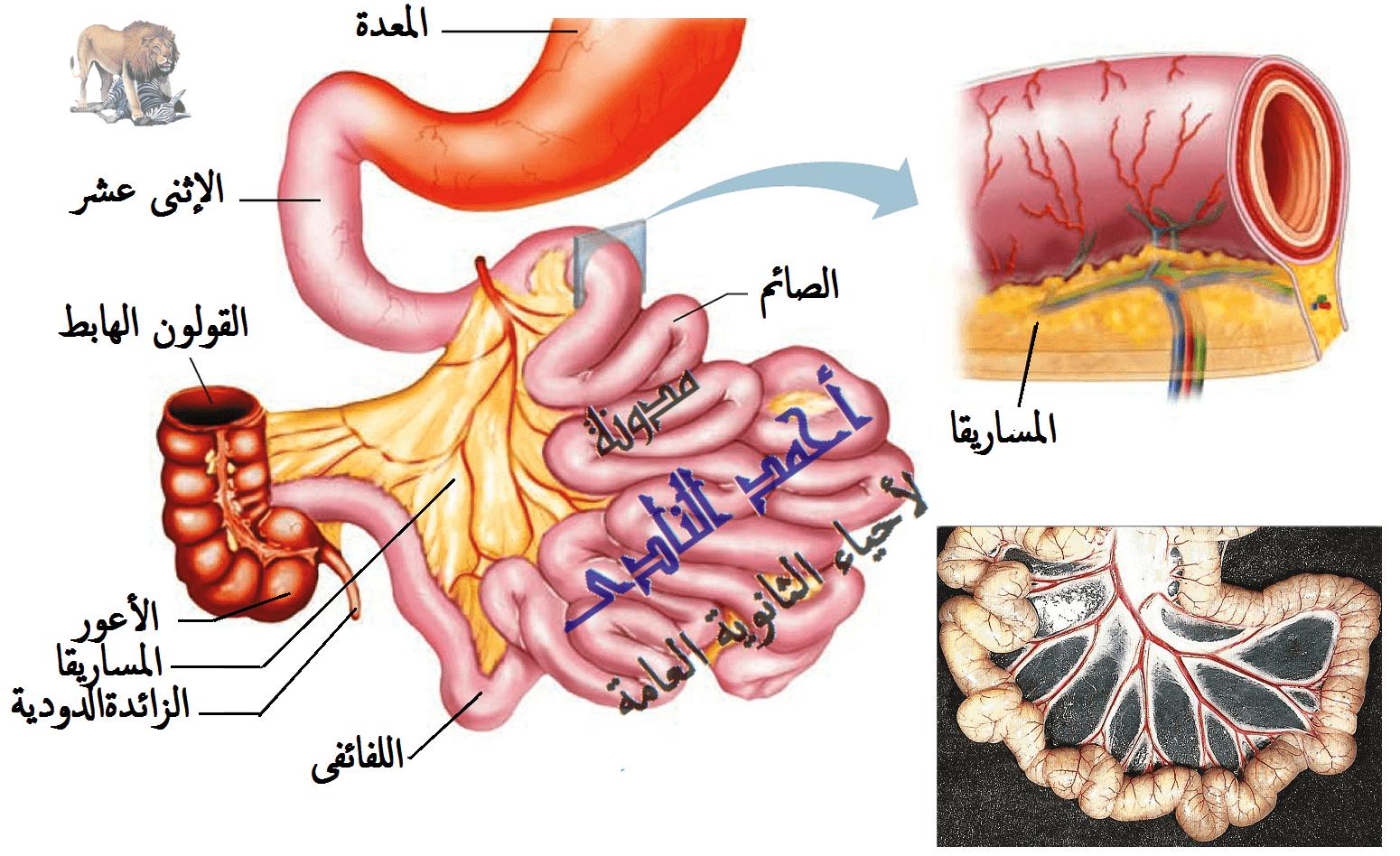 الجهاز الهضمى - الهضم فى الإنسان - الهضم فى الأمعاء - الأمعاء الدقيقة - المساريقا - الإثنى عشر - الصائم - اللفائفى - مدونة أحمد النادى لأحياء الثانوية العامة