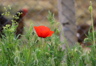 The first of many poppies